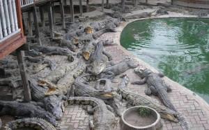 piscina de cocodrilos